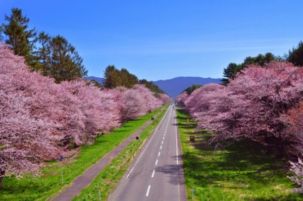 新ひだか町 二十間道路桜並木 写真