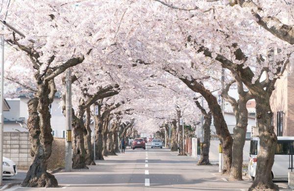 函館市 桜が丘通り 写真
