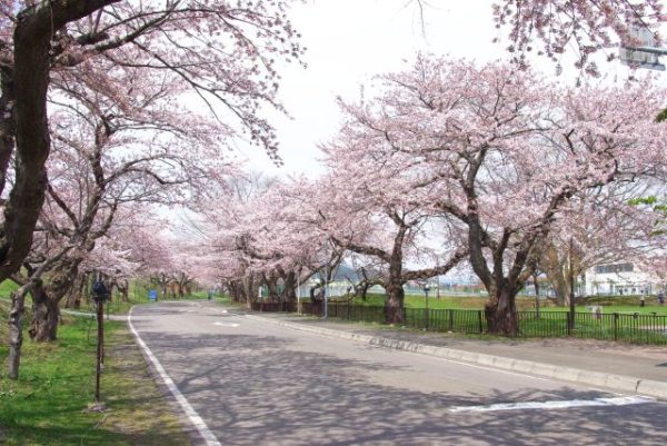 大野川沿い桜並木 写真
