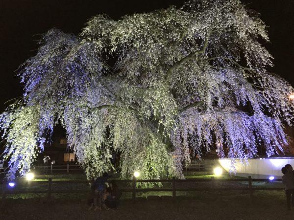 北斗市 法亀寺しだれ桜 夜 写真