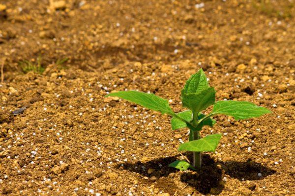 畑から作物が育つ 写真