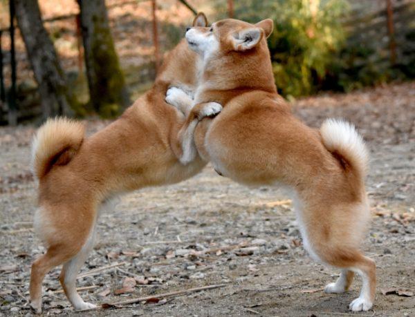 犬同士で体当たり 写真